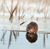 Muskrat on an ice edge. Stock Image