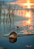 Muskrat on an ice edge. Stock Images