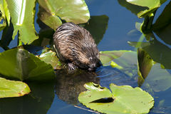 Muskrat on lily pad. A muskrat rests on a lily pad while eating Stock Images
