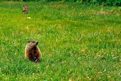 Muskrat Love Royalty Free Stock Images