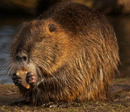 Muskrat. Low exposure with flash Royalty Free Stock Photography