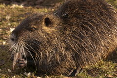 Muskrat. Low exposure with flash Royalty Free Stock Images