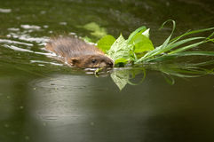 Muskrat with mouth full of food Stock Photos