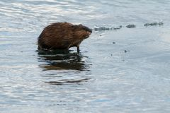 Muskrat. Walking on the water covered ice. Colonel Samuel Smith Park, Toronto, Ontario, Canada Royalty Free Stock Images