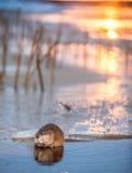 Muskrat (Ondatra Zibethica) σε μια άκρη πάγου Το muskrat κάθεται σε μια άκρη πάγου σε ένα ηλιοβασίλεμα στοκ εικόνα