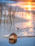 Muskrat (Ondatra Zibethica) on an ice edge. The muskrat sits on an ice edge on a sunset Stock Image