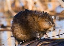 The muskrat (Ondatra zibethicus). Royalty Free Stock Photography
