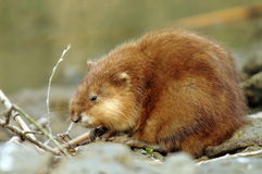 Muskrat in Danube Delta, Romania Royalty Free Stock Images
