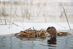 The muskrat (Ondatra zibethicus) Stock Photo