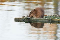 Muskrat - Ondatra zibethicus. Groundhog eating the remains of an abandoned nest on a nesting platform. Also known as a Wood Chuck. Humber Bay Park, Toronto royalty free stock photo