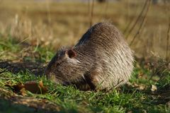 The muskrat Ondatra zibethicus Royalty Free Stock Images