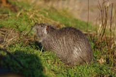 The muskrat Ondatra zibethicus Stock Images