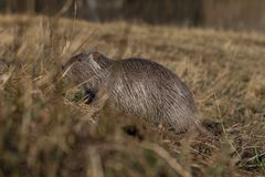 The muskrat Ondatra zibethicus Stock Photography
