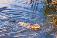 Muskrat Ondatra zibethicus swimming swampy pond Royalty Free Stock Image