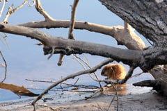 Muskrat op de rivierbank Stock Afbeelding