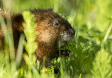 Muskrat portrait Stock Photos