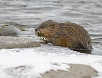 Muskrat with River Bounty Stock Images