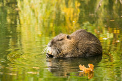 Muskrat searching for food Royalty Free Stock Image