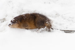 Muskrat in snow Stock Photography
