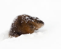 Muskrat in snow Royalty Free Stock Image