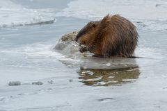 Muskrat. Standing on an ice covered rock eating a Zebra Mussel. Colonel Samuel Smith Park, Toronto, Ontario, Canada Stock Photo