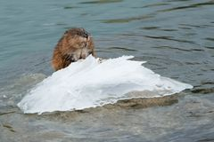 Muskrat. Standing on an ice covered rock sticking out of the surface of the water. Colonel Samuel Smith Park, Toronto, Ontario, Canada Stock Photography