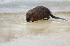 Muskrat. Standing on the ice having a drink. Hendrie Valley, Burlington, Ontario, Canada Royalty Free Stock Photography