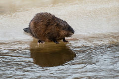 Muskrat. Standing on the ice at the water's edge. Hendrie Valley, Burlington, Ontario, Canada Stock Images