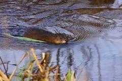 Muskrat swimming Royalty Free Stock Image