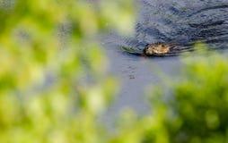 Muskrat swimming Stock Photography