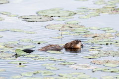 Muskrat Swims through Lilly Pads. In a Pond stock photo