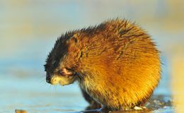 The muskrat washes. Royalty Free Stock Photos