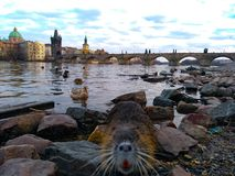 Muskrat in the water at the Charles Bridge in Prague royalty free stock photography