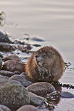 Muskrat in the wild. Muskrat eating it's breakfast in the Snake river at Grand Teton National Park Royalty Free Stock Image