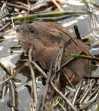 Muskrat woke up in spring and surfaced on dirty melting ice. Muskrat woke up in the spring and surfaced on the dirty melting ice among the broken reeds (stagnant royalty free stock photography