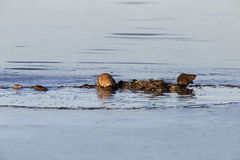 Muskrats at work Stock Photography