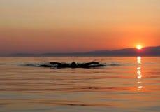 Muskulöse Schwimmenschmetterlingszauntritte des jungen Mannes im Sonnenuntergang lizenzfreie stockfotografie