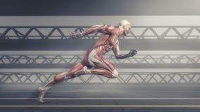 Muskulöses System vektor abbildung