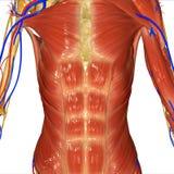 muskulöst system Royaltyfri Fotografi