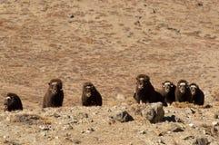 Muskusos - Groenland stock afbeelding