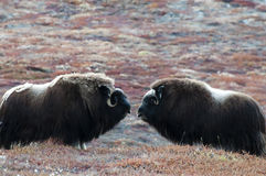 Muskusos - Groenland royalty-vrije stock afbeelding
