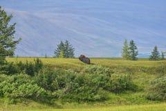 Muskusos op het Yamal-Schiereiland stock foto