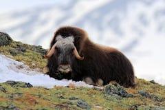 """Muskusos, Ovibos-moschatus, met berg Snoheta op de achtergrond, groot dier in de aardhabitat, Dovrefjell†""""Sunndalsfjella stock foto's"""