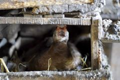 musky утка на воспроизводстве гнезда уток мускуса Стоковое фото RF