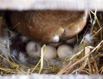 musky утка на воспроизводстве гнезда уток мускуса Стоковые Изображения