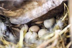 musky утка на воспроизводстве гнезда уток мускуса Стоковая Фотография