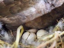 musky утка на воспроизводстве гнезда уток мускуса Стоковая Фотография RF