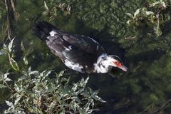 The musky duck Cairina moschata Royalty Free Stock Photography