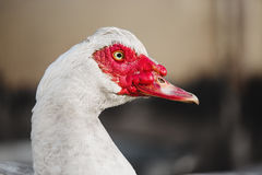 Musky duck or indoda on walk. White Muscovy bird Royalty Free Stock Images
