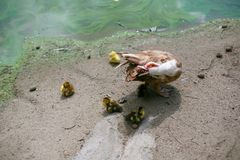 Musky duck with yellow chickens outdoors royalty free stock photo